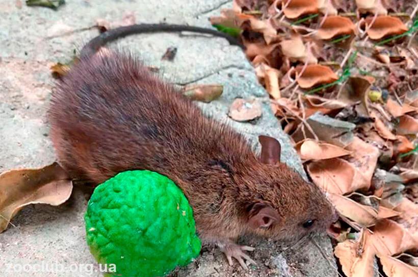 фото серебристобрюхой крысы