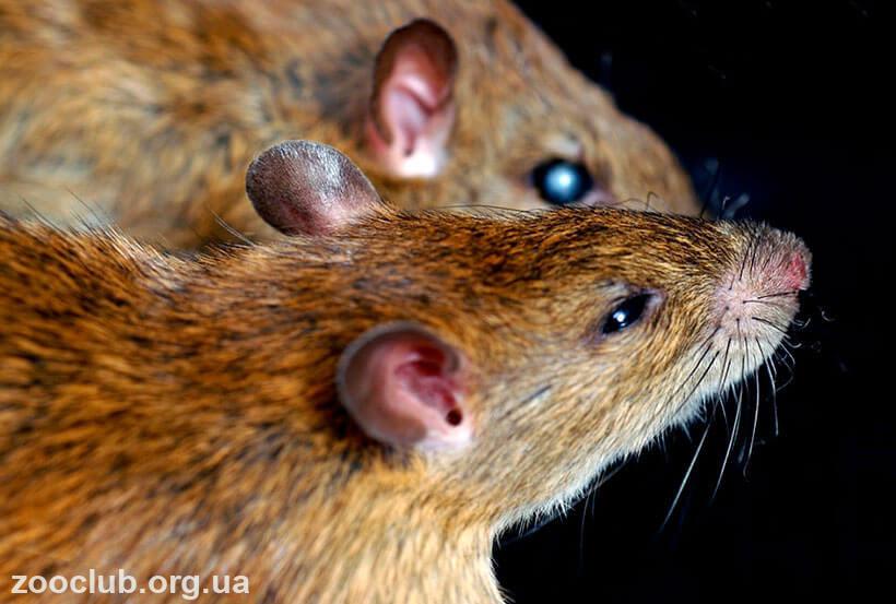 Серебристобрюхая крыса фото