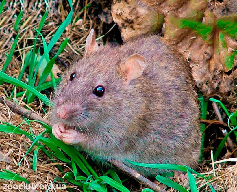 крыса серебристобрюхая фото