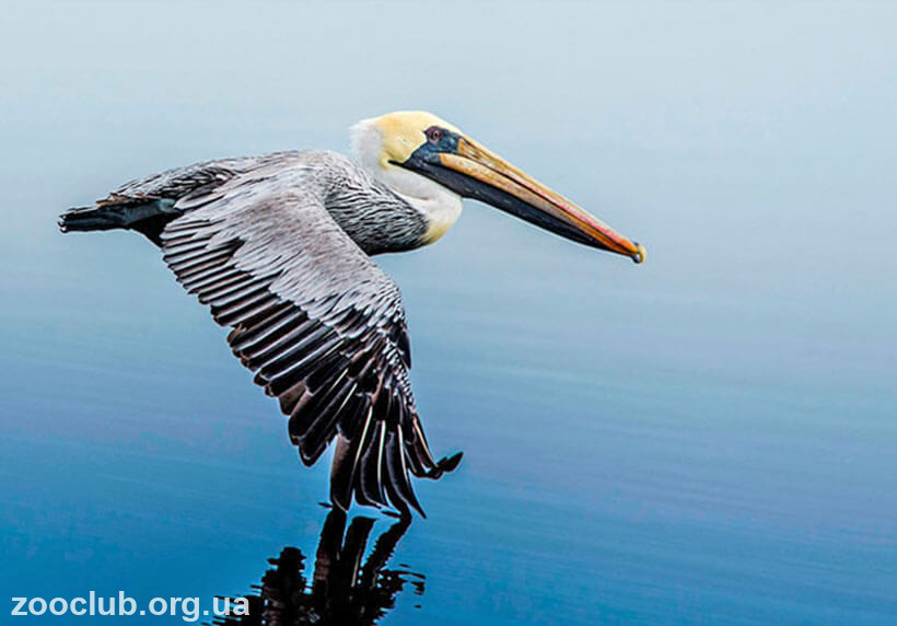 пеликан американский бурый фото