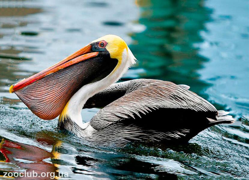 Американский бурый пеликан фото