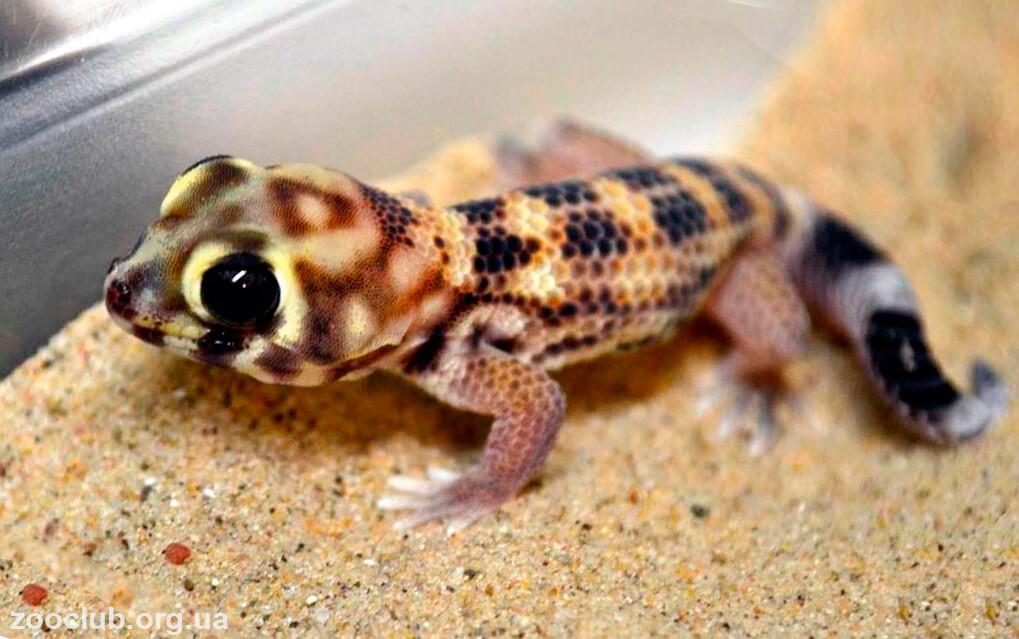 фото cцинкового геккона