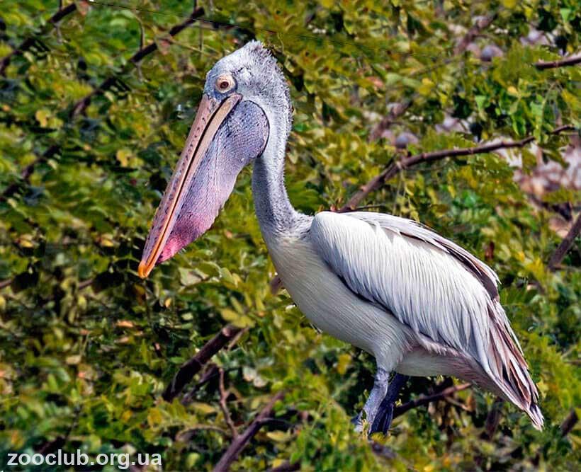 Серый пеликан фото