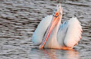 Серый пеликан