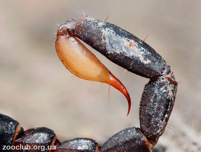 жало скорпиона итальянского