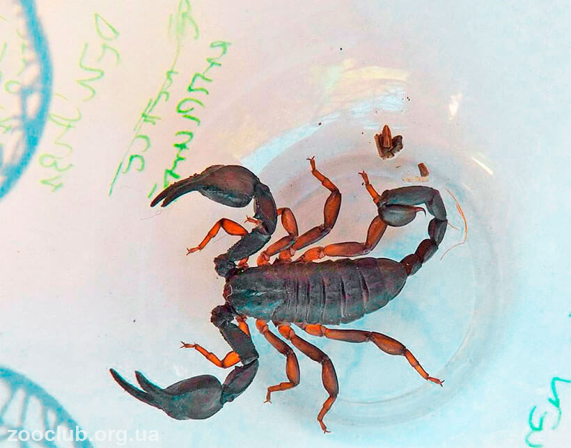 фото Euscorpius italicus