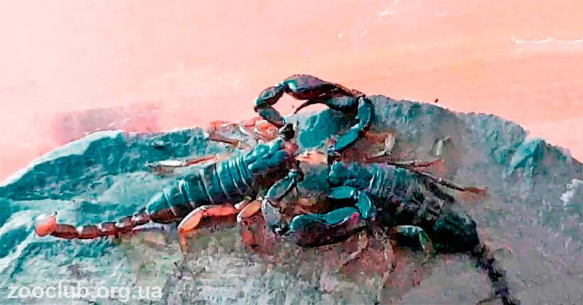фото скорпиона итальянского