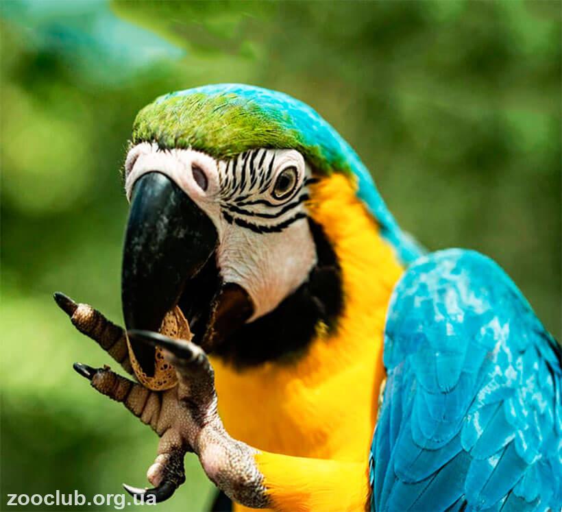 фото попугая арарауна