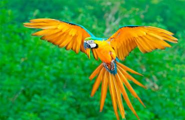 Сине-желтый ара, или попугай арарауна