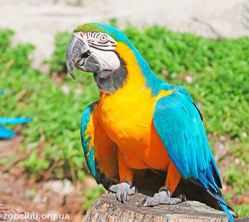 Сине-желтый ара фото