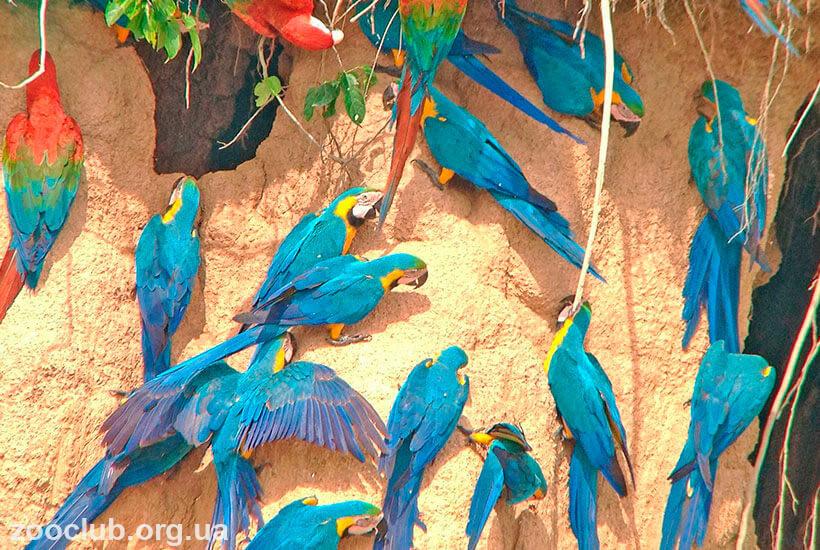 фото сине-желтого ара