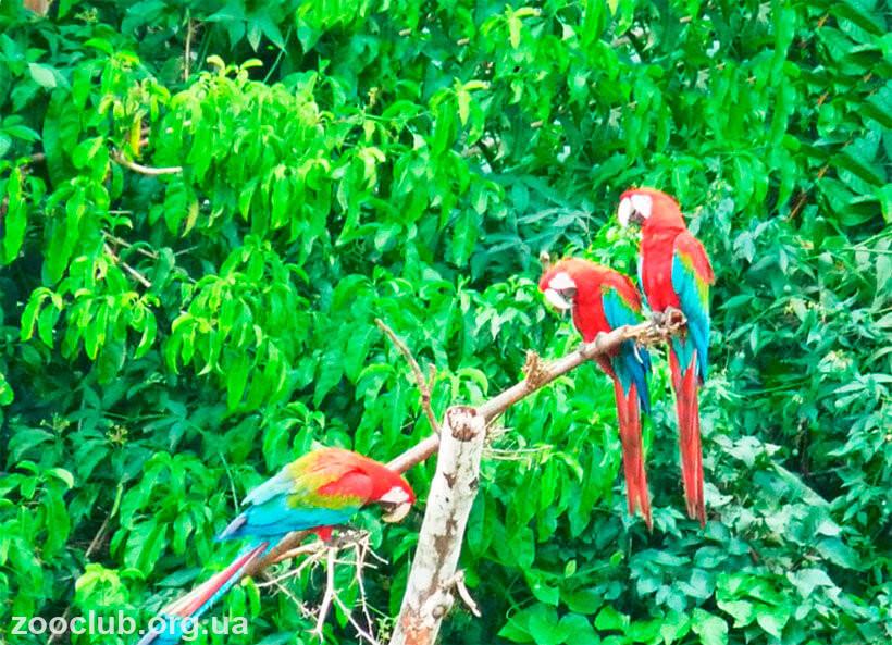 фото pеленокрылого ара