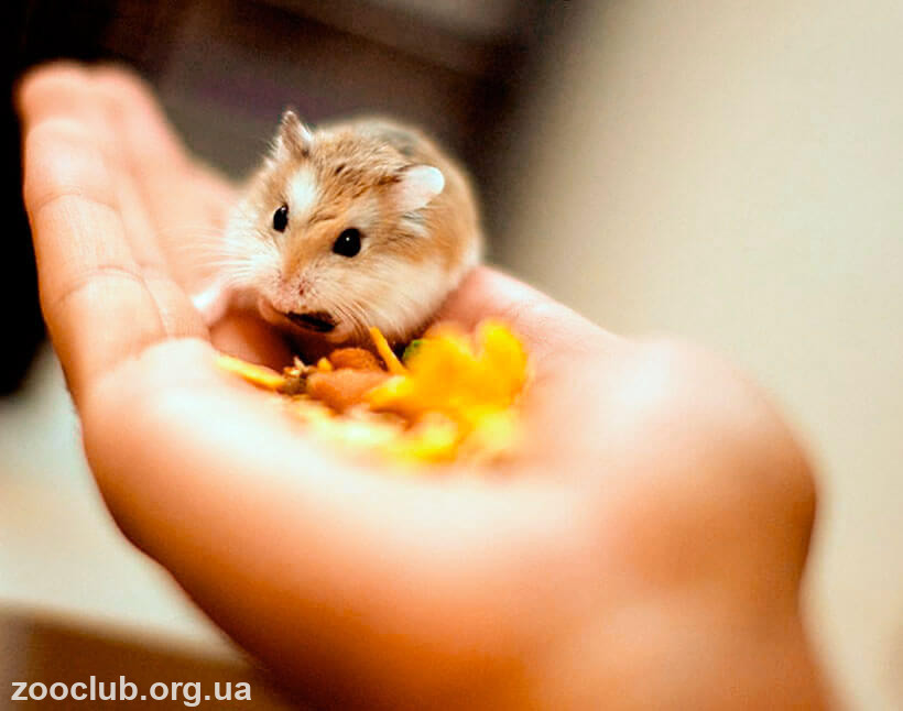 фото карликового хомячка