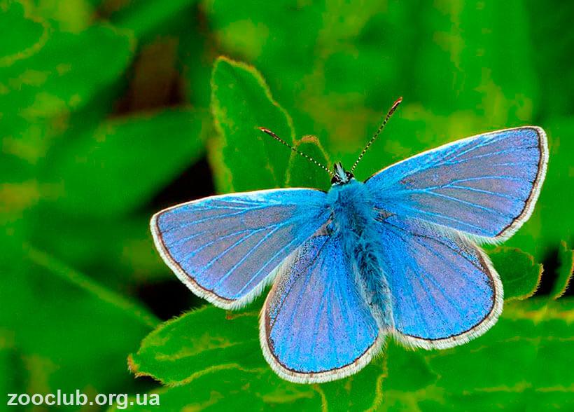 бабочка голубянка интересные факты