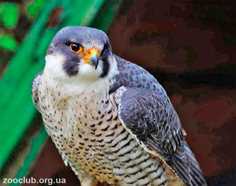 фото Falco biarmicus