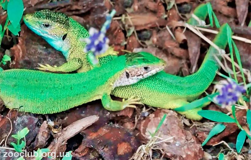 зеленая ящерица содержание