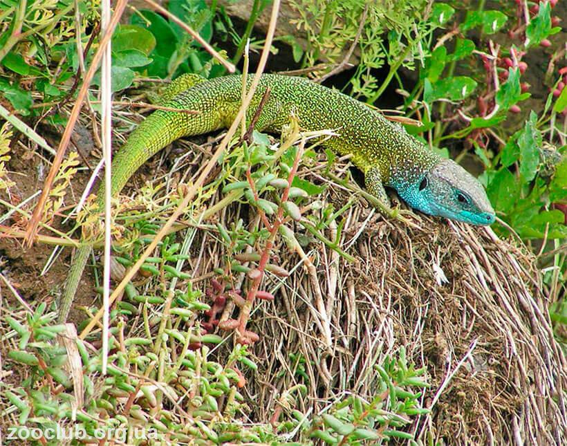 зеленая ящерица ядовитая или нет