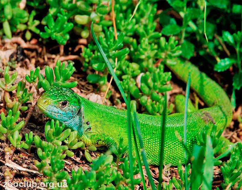 фото Lacerta viridis