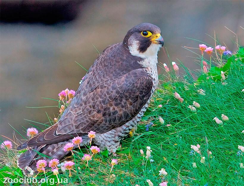 фото Falco peregrinus