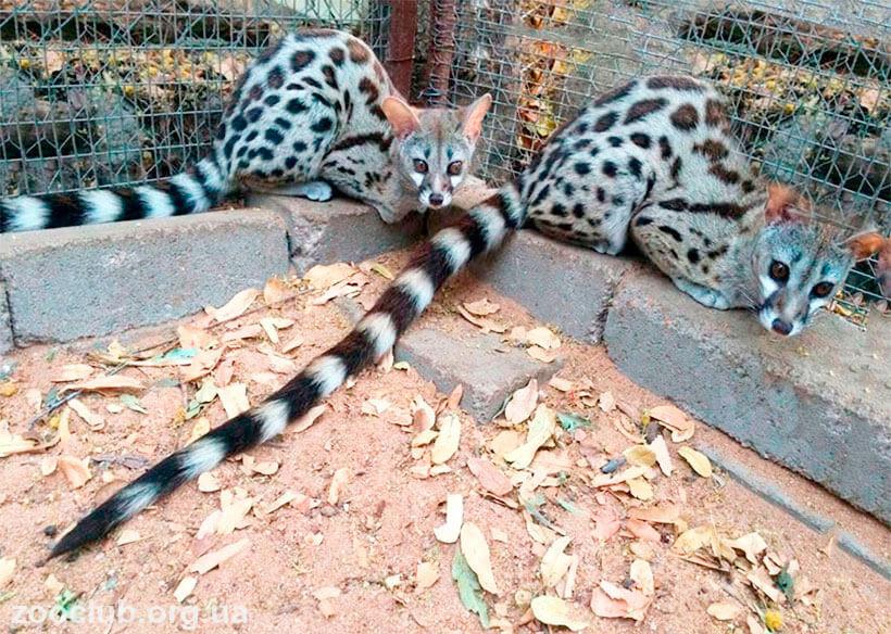 Genetta tigrina