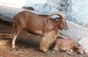 Аруи, аудад, или североафриканский гривистый баран