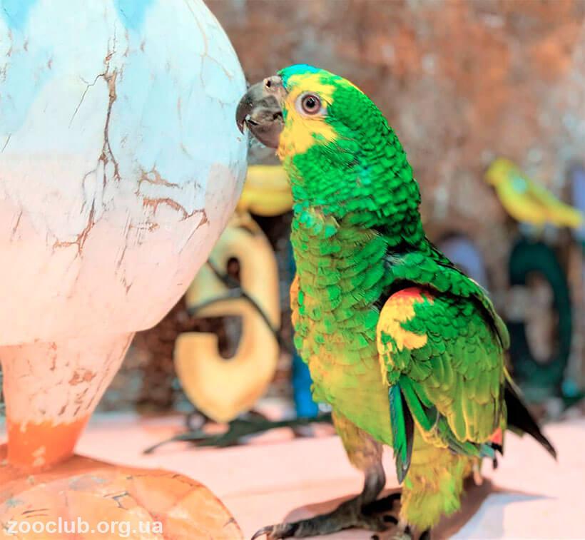 Длиннокрылый конголезский попугай