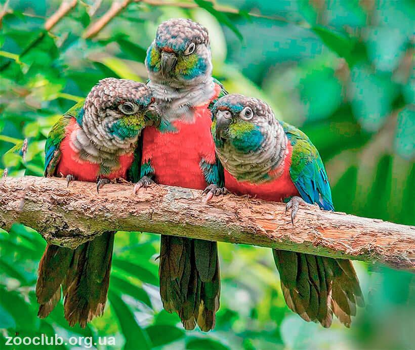 фото длиннокрылого конголезского попугая