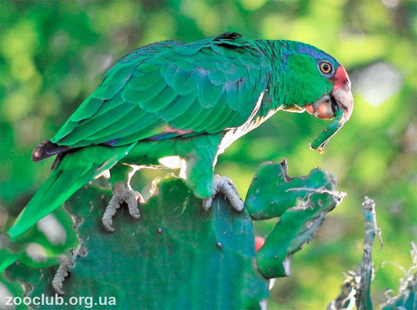 конголезский попугай цена