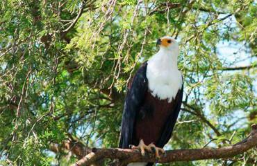Войовничий чубатий орел
