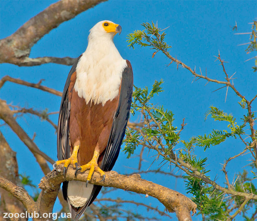 Aquila africana