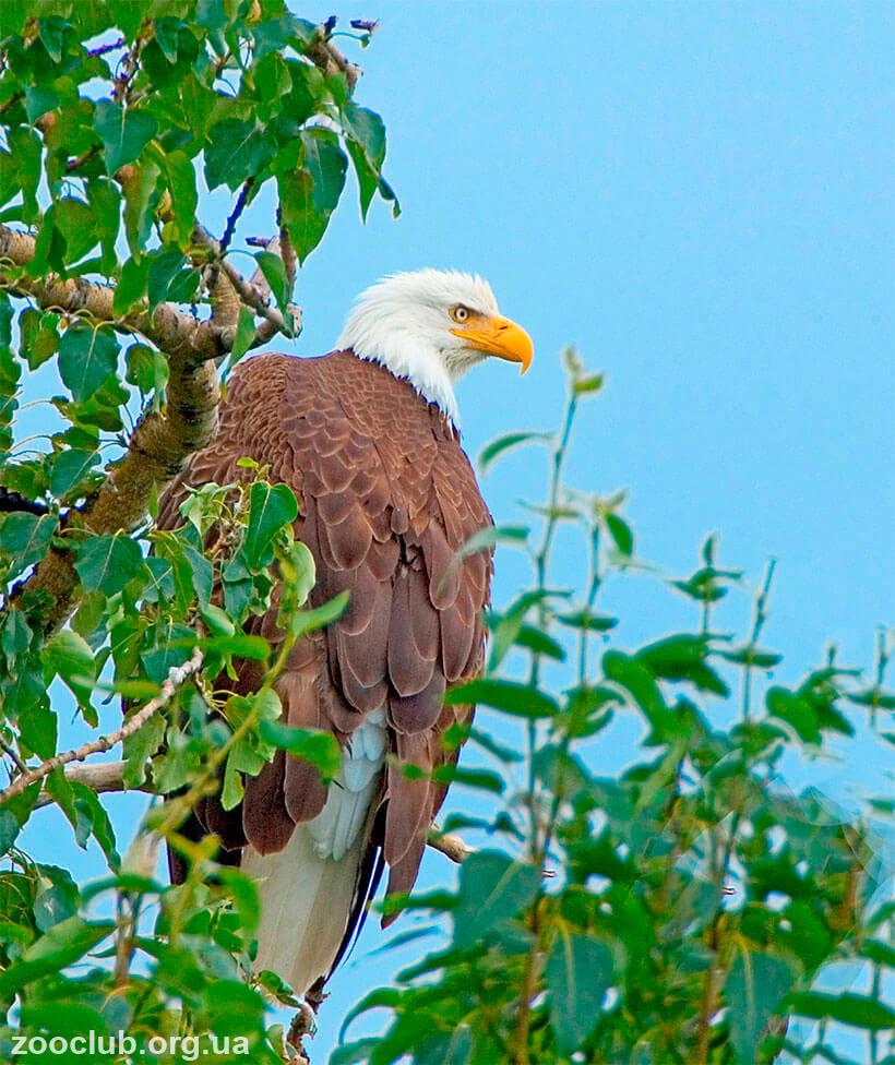 фото воинственного хохлатого орла