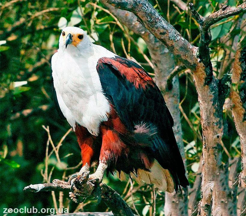 Воинственный хохлатый орел фото