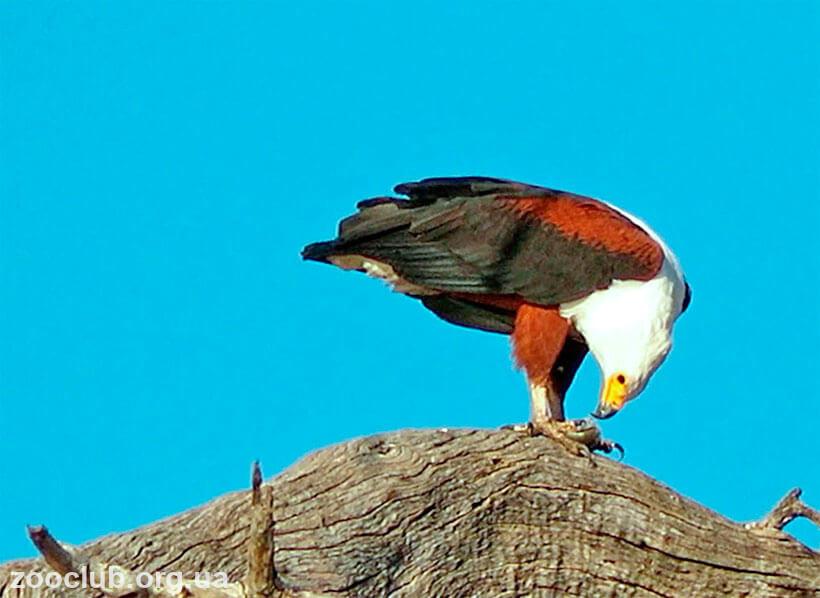 Aquila africana фото
