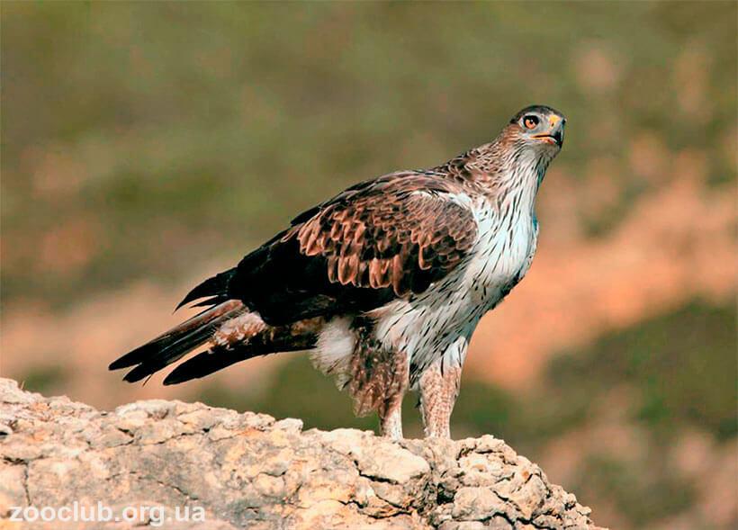 индийский ястребиный орел,