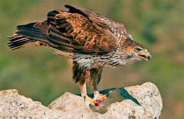 Орел-карлик яструбиний