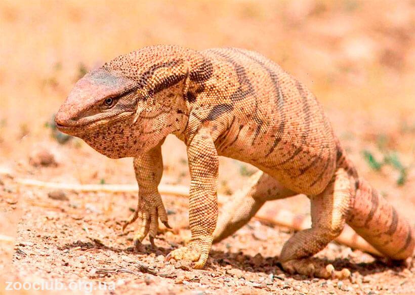 фото пустынного варана