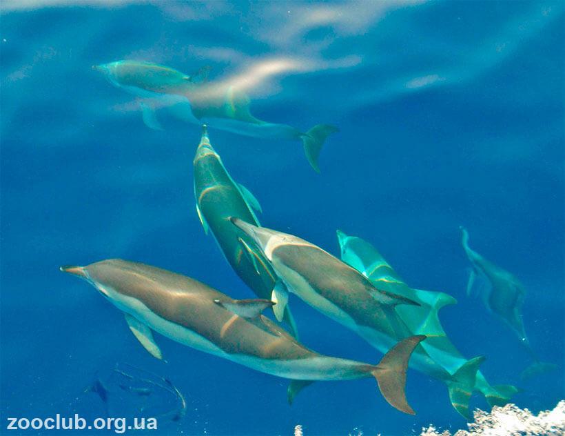 дельфин-белобочка фото