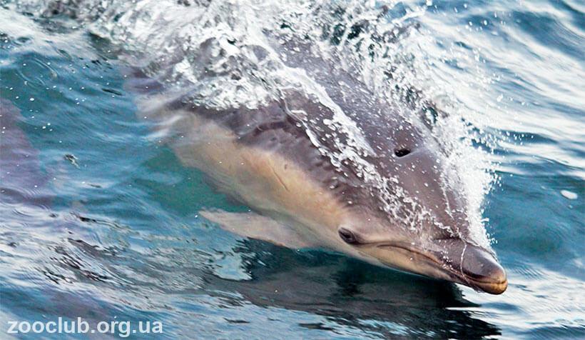 Дельфин обыкновенный фото