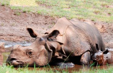 Индийский носорог, или панцирный носорог
