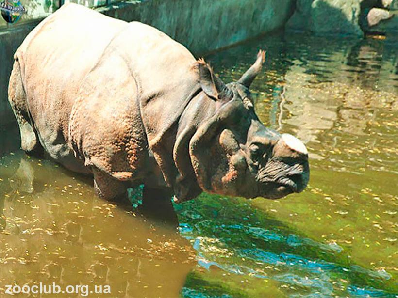 фото Rhinoceros unicornis