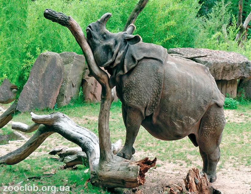 фото носорога
