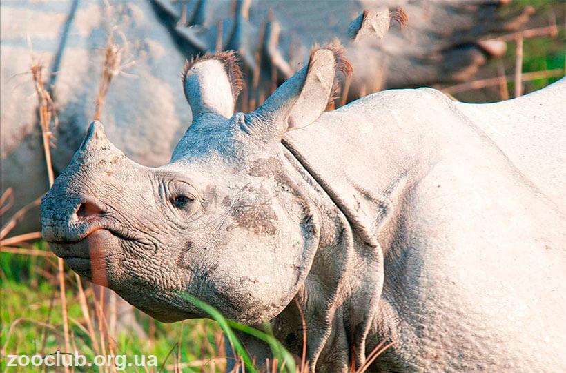 фото ндийского носорога