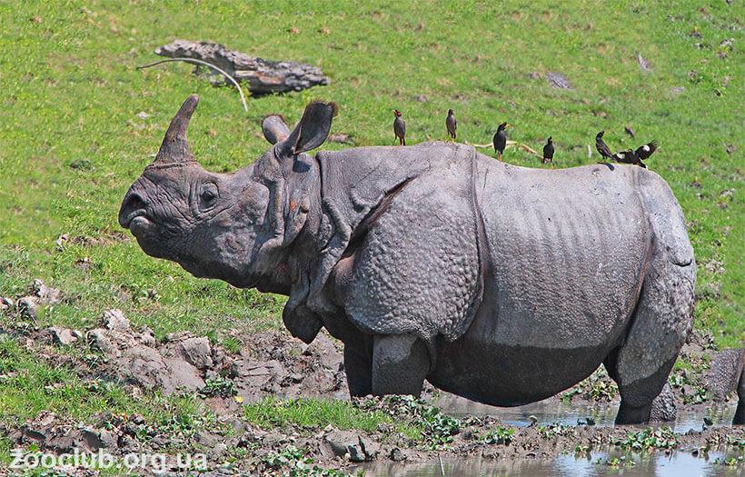 панцирный носорог фото