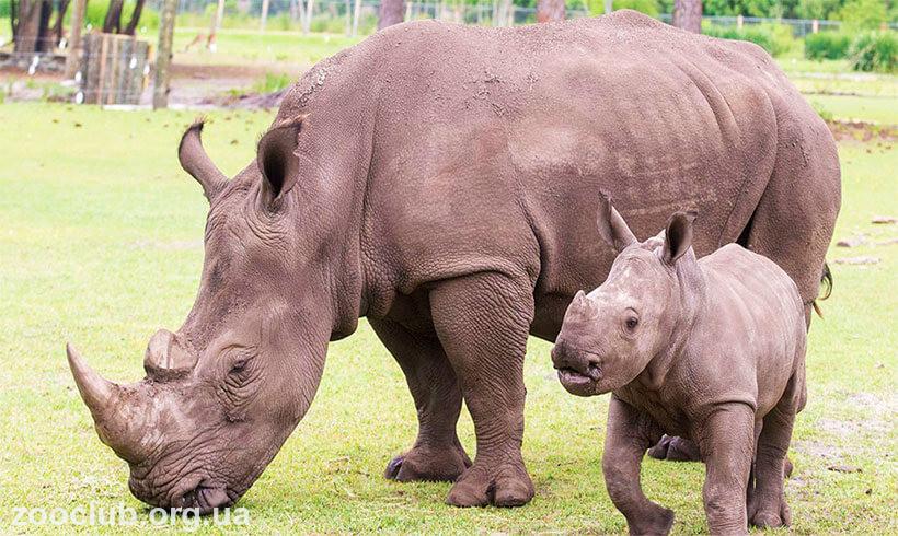 фото белого носорога