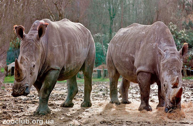 фото носорога белого
