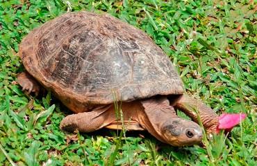 Шоломоносна черепаха, або африканська пеломедуза
