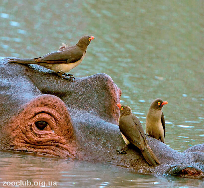 фото красноголового буйволового скворца