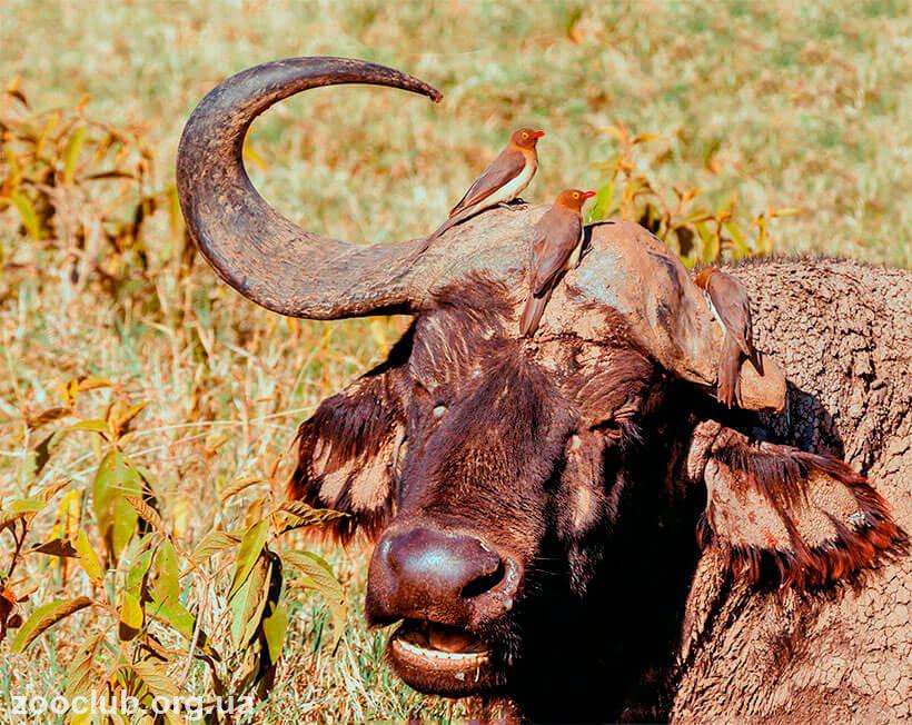 Красноклювый буйволовый скворец фото