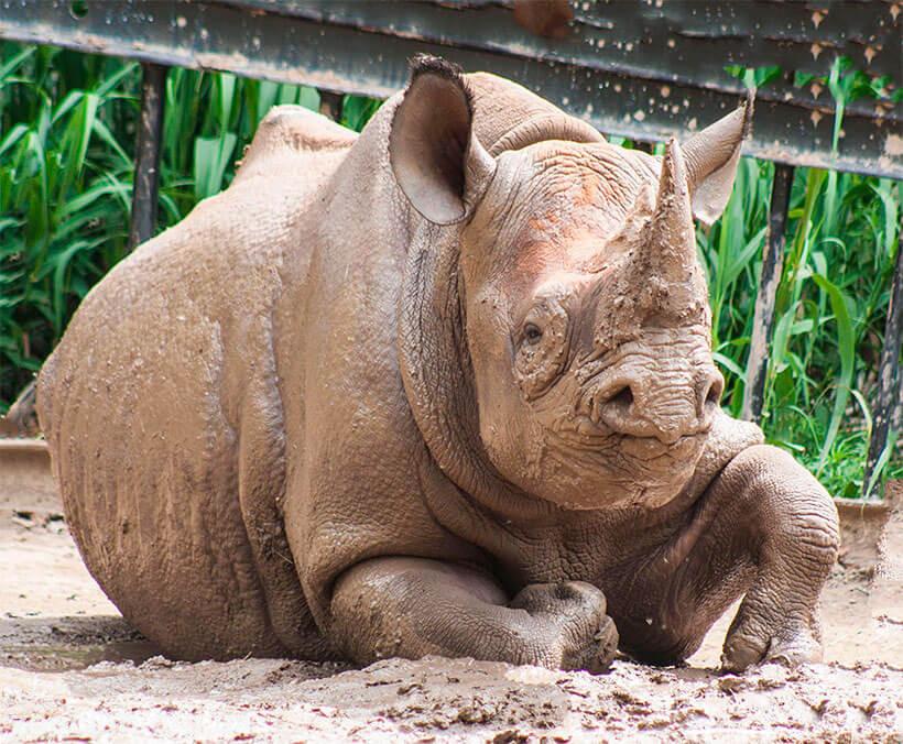 черный носорог сколько осталось 2019