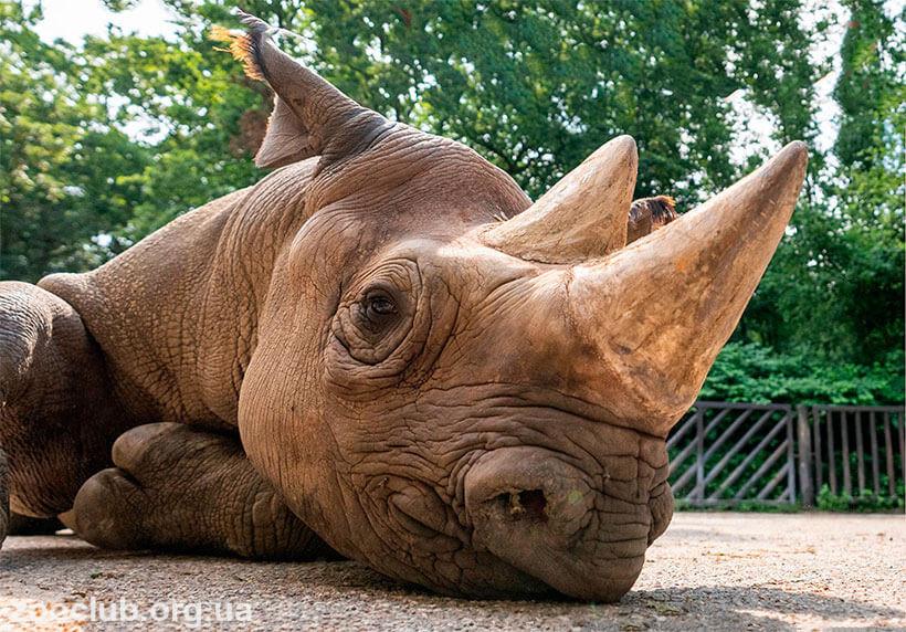 черный носорог сообщение